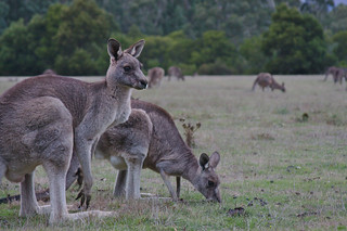 Kangaroos feeding near Brambuk Centre