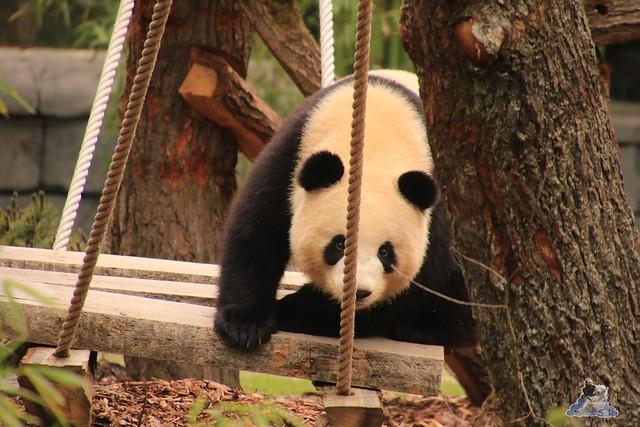Panda Meng Meng und Jiao Qing im Berliner Zoo 09.07.2017 033