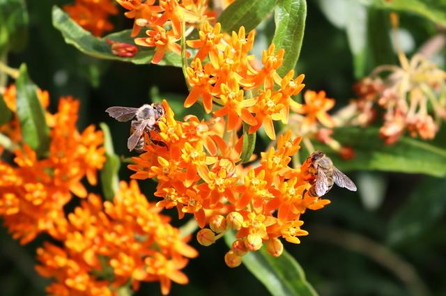 closeup of a stem of dark orange with a honeybee on each side