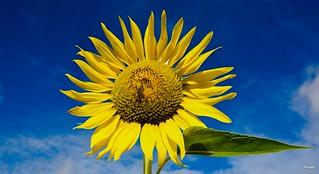 a  yellow beauty!