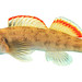 Etheostoma etowahae (male), Etowah River, Lumpkin County, Georgia 1 by Alan Cressler
