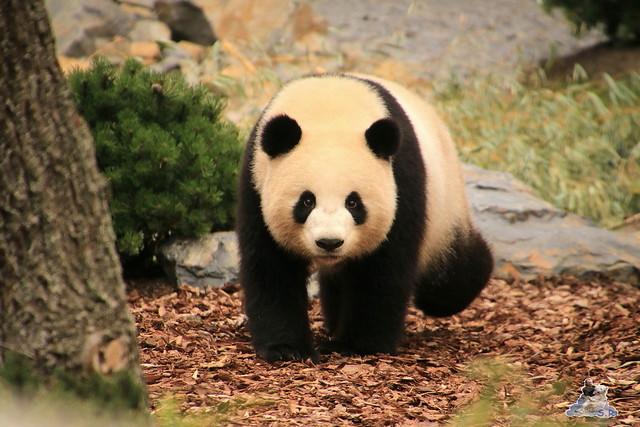 Panda Meng Meng und Jiao Qing im Berliner Zoo 09.07.2017 083