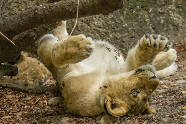 Female African Etosha Lion, Nikon D7200, AF VR Zoom-Nikkor 80-400mm f/4.5-5.6D ED