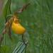 large yellow lady slipper, cypripedium parviflorum var. pubescens