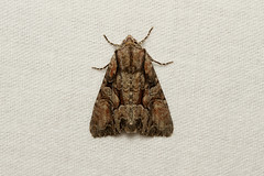 Lacanobia subjuncta (Speckled Cutworm Moth) - Hodges # 10299