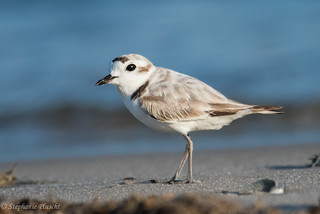 Snowy Plover | by stephaniepluscht
