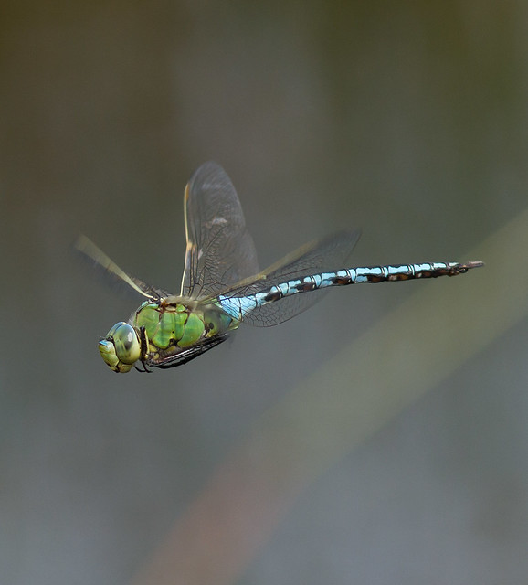 Emperor Dragonfly, Male, Canon EOS 7D, Canon EF 300mm f/4L IS