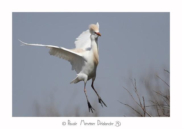 Héron garde-boeufs -  Bubulcus ibis - Western Cattle Egret