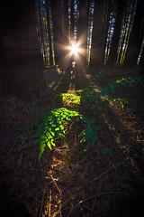 Redwood Greenleaves