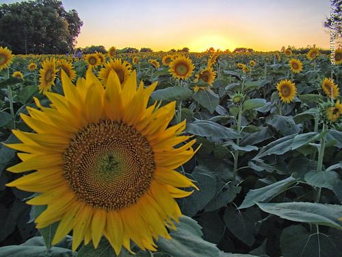 leavenworthcounty kansas usa 2016 september september2016 grinterfarms dusk aftersunset sunflower sunflowers sunflowerfield sunflowerfields flower flowers wildflower wildflowers