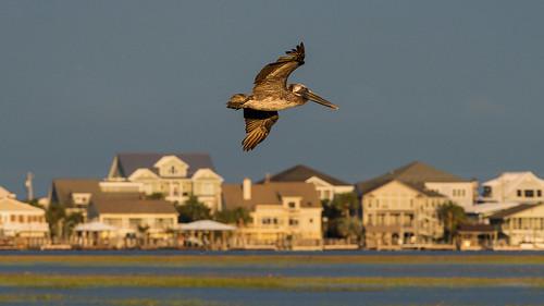 gardencity murrellsinlet murrells pelicans birds sunset