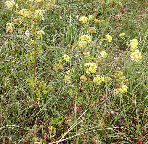 Prairie Parsley