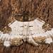 Pretty chalk carpet moth (Melanthia procellata) from above by Ian Redding