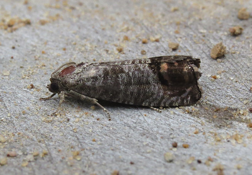 Codling Moth Cydia pomonella Tophill Low NR, East Yorkshire July 2017