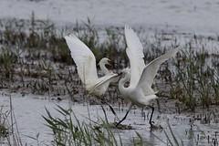 HolderLittle Egret fight!