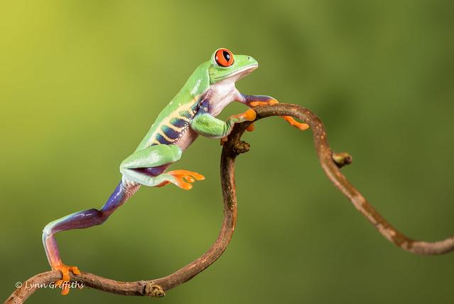 Red-eyed tree frog - Still not high enough D75_7152.jpg