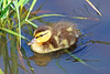 Mallard Duckling 17-0604-6779 by digitalmarbles