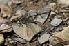 Ashy Clubtail (Phanogomphus lividus), Straight Fork, Highland County, VA.  12/6/17