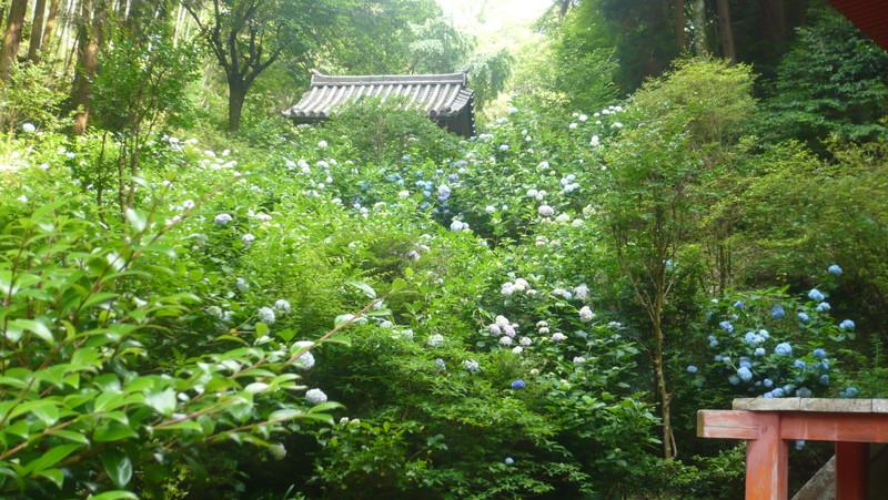 岩船寺の紫陽花 もっふもふのあじさい アジサイ gansenji hydrangea kyoto temple japan