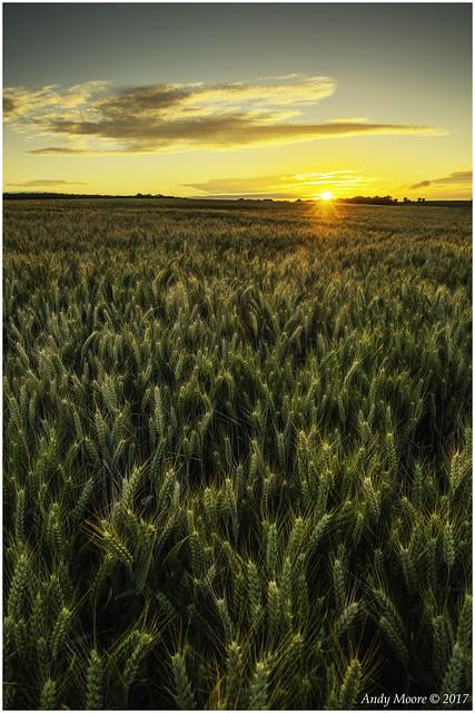 Setting Sun over Barley Field