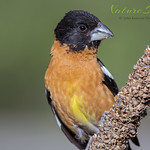 Black-Headed Grosbeak ♂