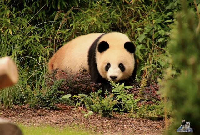 Panda Meng Meng und Jiao Qing im Berliner Zoo 09.07.2017 073
