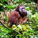 Orangutan 2 (Trevor Platt)