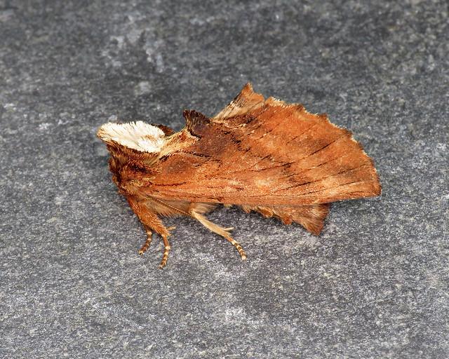 71.021 Coxcomb Prominent - Ptilodon capucina