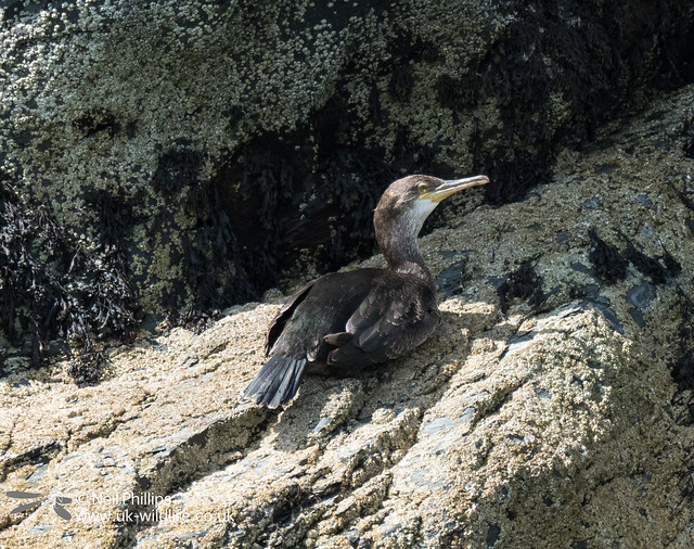 Juvenile shag on a rock in Looe Harbour-2