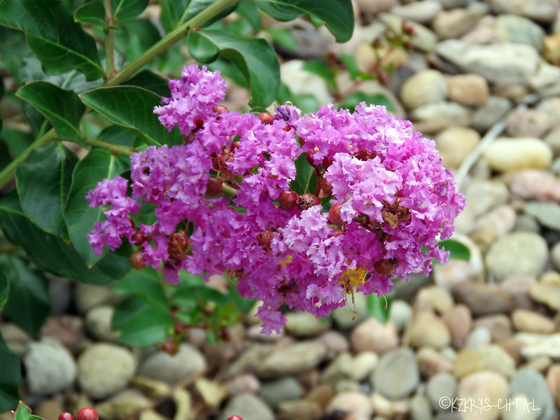IMG_4415CrapeMyrtle