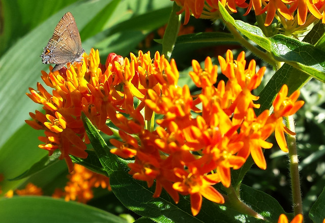 small brown butterfly with a small triangle of orange on the bottom of the hind wing and a bluish patch below that