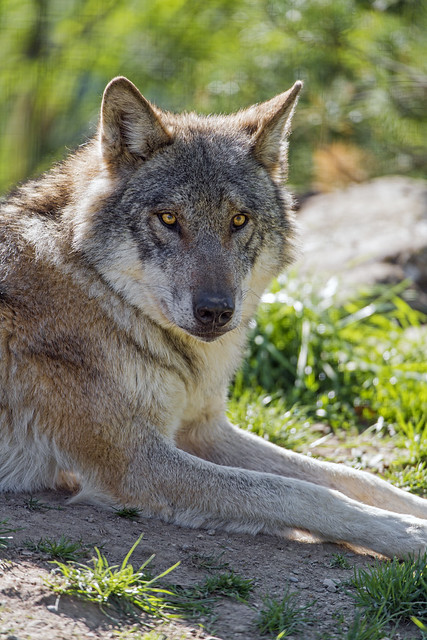 Wolf looking at me