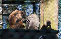 Woolly Monkeys April 2017