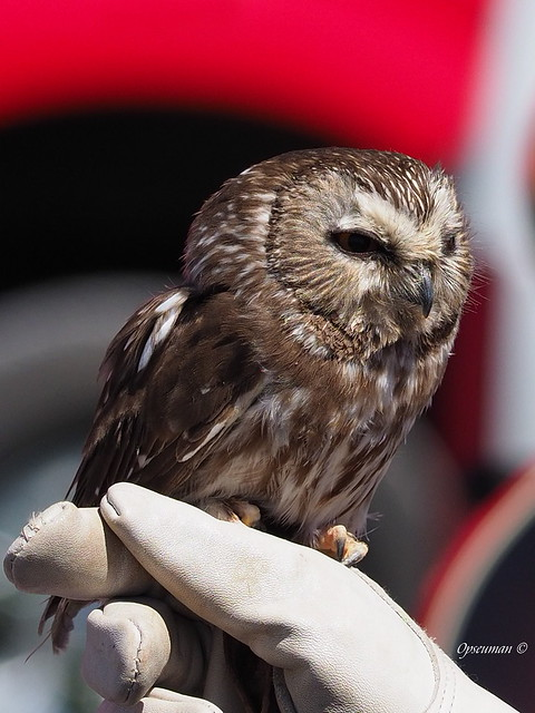 A Northern Saw-whet Owl Named Luna