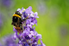 Bumblebeeing The Lavender