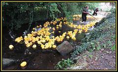 WI Duck Race, Shireoaks