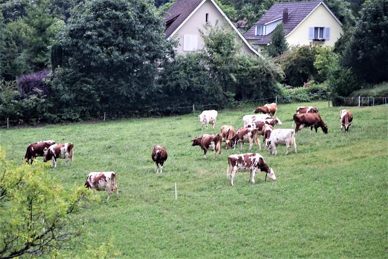 Cows 02.07 (2)
