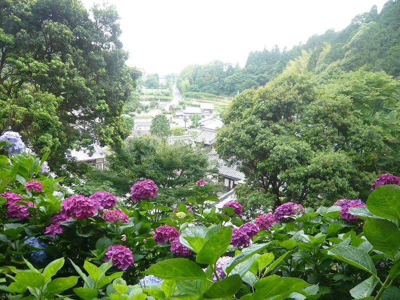 柳谷観音の紫陽花 渓谷のアジサイ