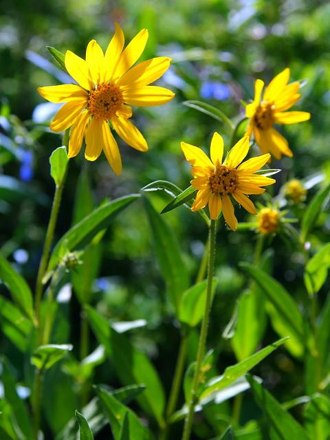 IMG_6522 Little Sunflower (Helianthella uniflora)