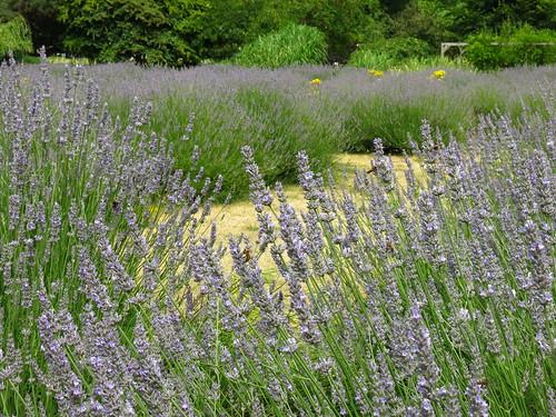 Vauxhall Park Lavender Garden