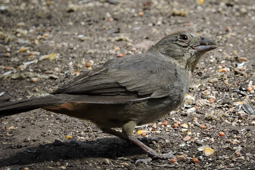 #67 Canyon Towhee (Lifer #168)
