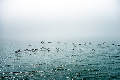 Cormorants in the Fog