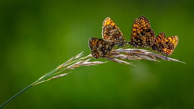 Family butterflies