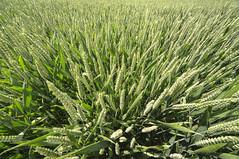 Wheat_2378