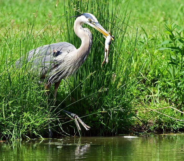 DSC_1544=2 Bird with Prey-Explored, Nikon D810, AF-S VR Nikkor 300mm f/2.8G IF-ED II