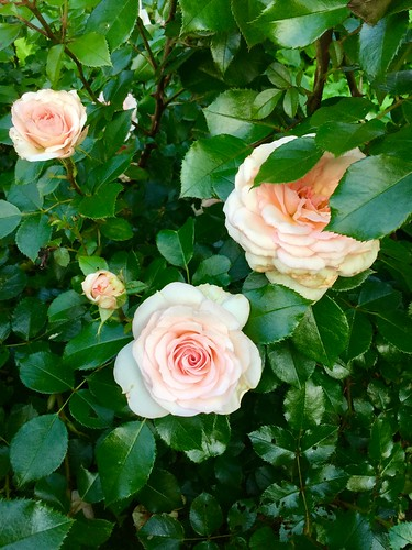 roses in the Heather Garden, Fort Tryon Park