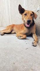 #adoptme #adoptdontshop #puppy #rescuedog #rescuepuppy #rescuedogsofinstagram #anguilla #streetdog #octavia #cute #ears #gooddog #dobby #petphotography #fosteringsaveslives #changingtheworld #raisingawareness #savinglives #socialtees #socialteesnyc #welov