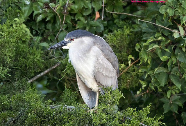 Black-Crowned Night Heron (Explored)