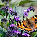 Small photo of Small Tortoiseshell Butterfly
