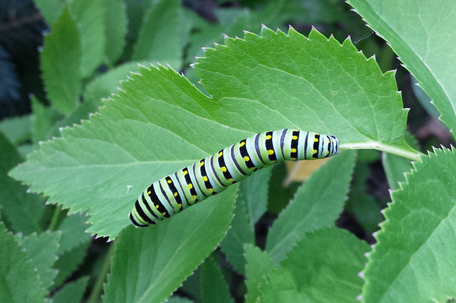 a skinny, smooth, green caterpillar with black stripes that have yellow dots, along the bottom side of a half-eaten leaf